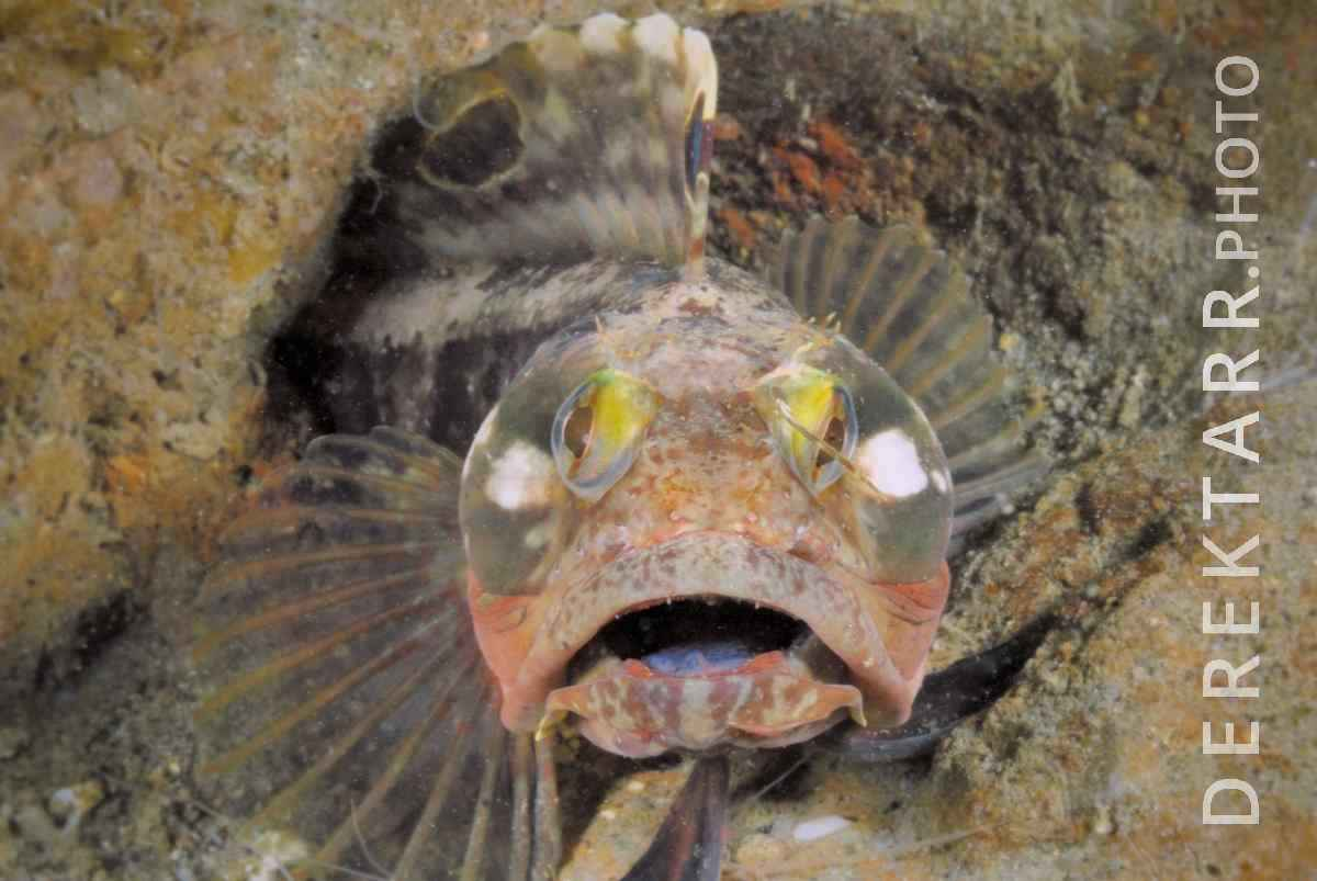large view of photograph of Sarcastic Fringehead