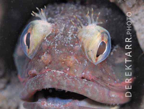 photograph of Sarcastic Fringehead Close Up