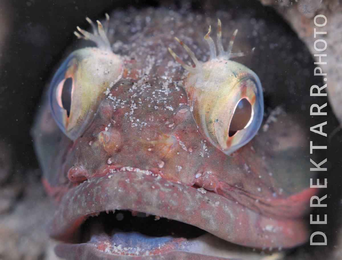 large view of photograph of Sarcastic Fringehead Close Up