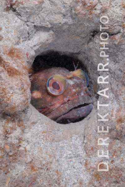 photograph of Sarcastic Fringehead in a Burrow