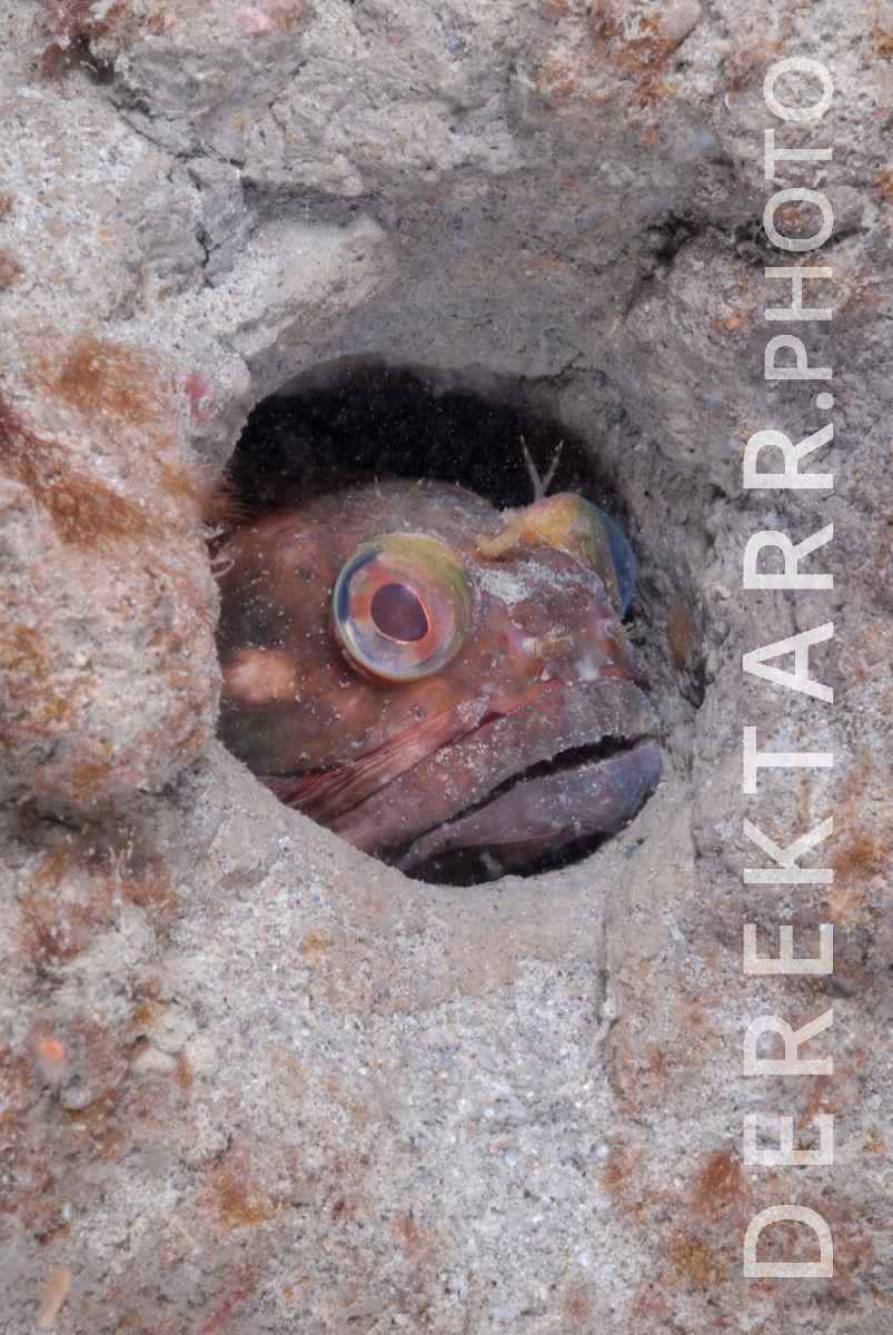 large view of photograph of Sarcastic Fringehead in a Burrow