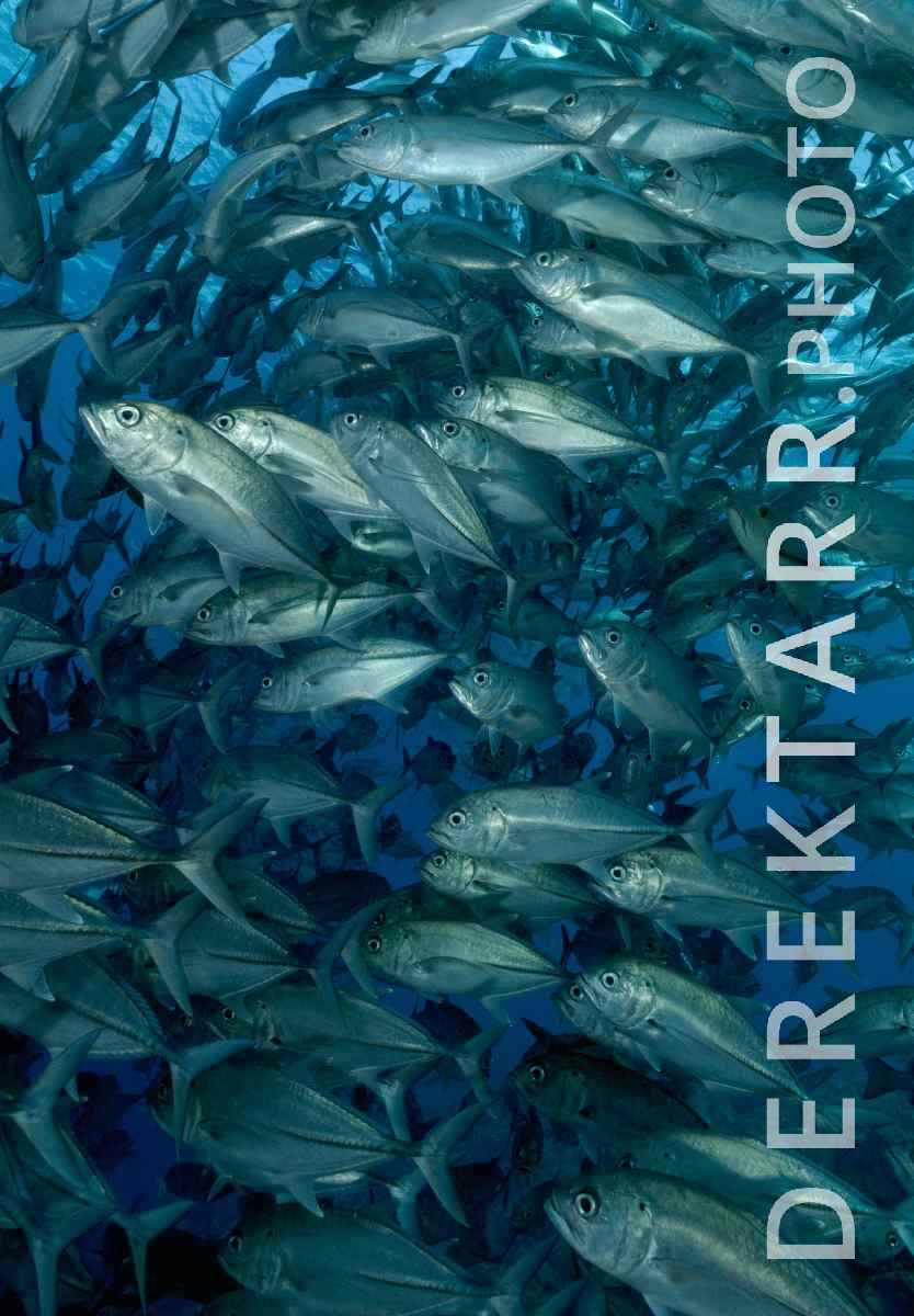 large view of School of Bigeye Trevally