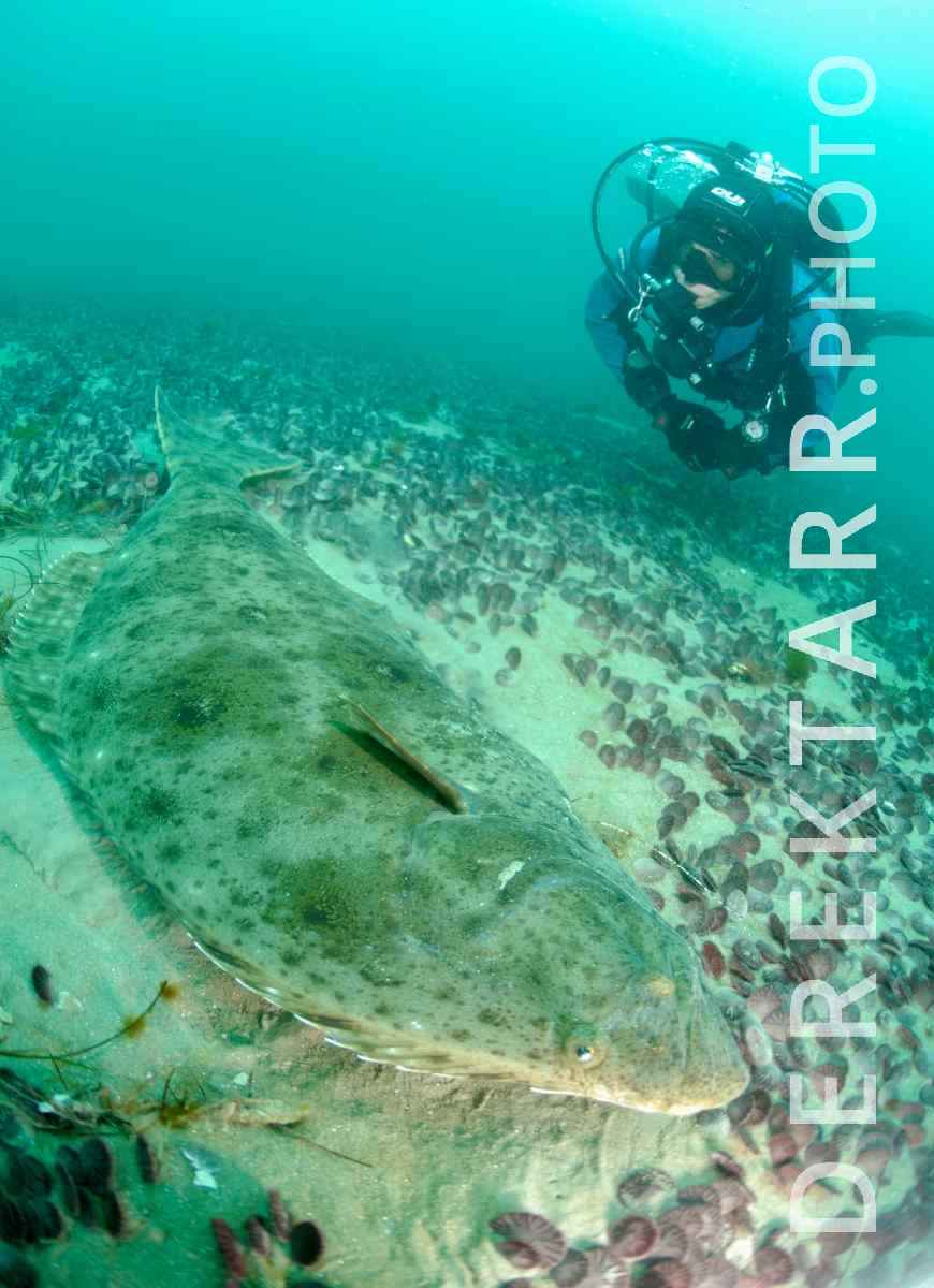 large view of Scuba Diver Underwater with large Pacific halibut (Hippoglossus stenolepis)