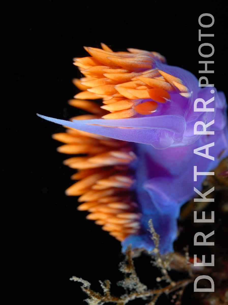 large view of photograph of Spanish Shawl in Motion