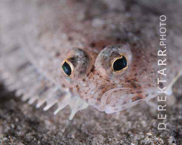 The Eyes of a Speckled Sanddab