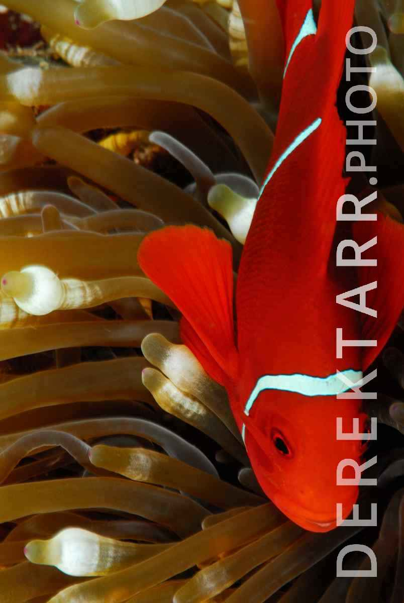 large view of Spine-Cheeked Anemonefish