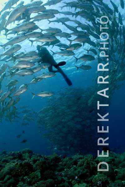 Scuba diver with Schooling Jacks