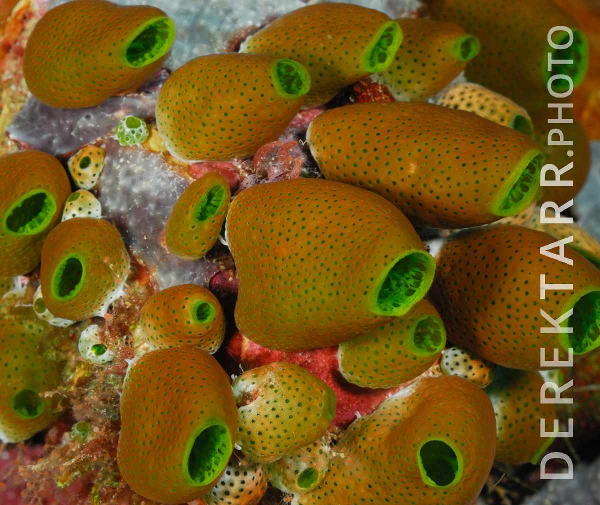 large view of Sea Squirts