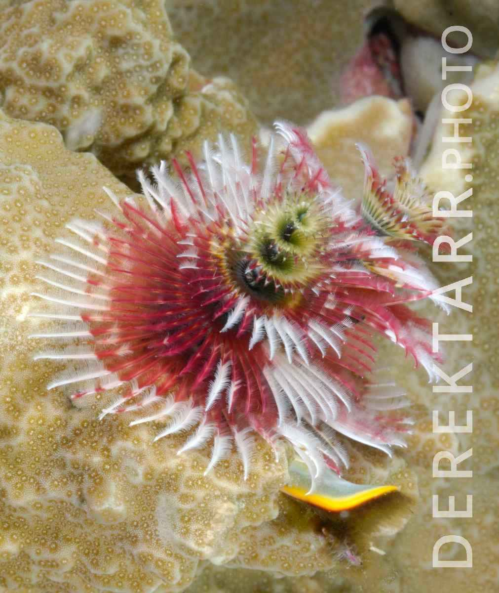 large view of photograph of Red and white Christmas Tree Worm