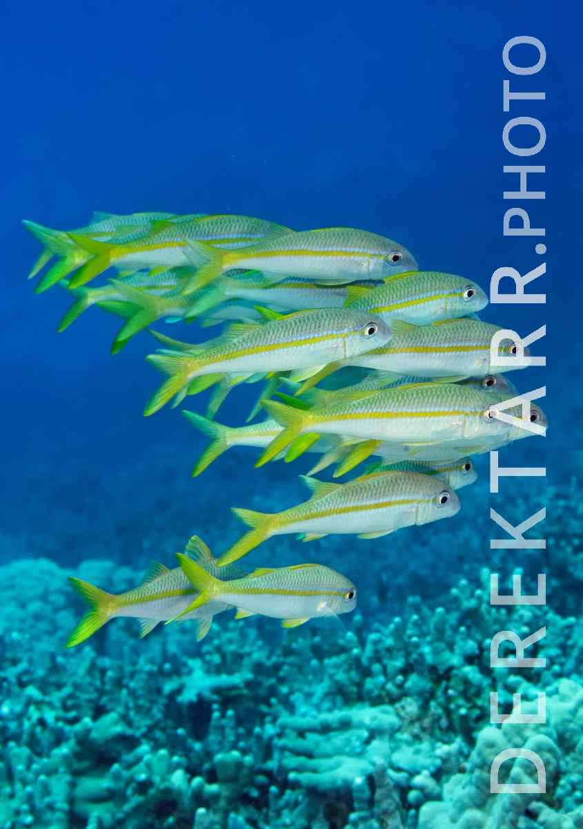 large view of Schooling Yellowfins