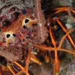 image detail page for California Spiny Lobster Close-up