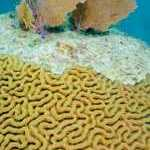 image detail page for Sea Fans on Florida Brain Coral